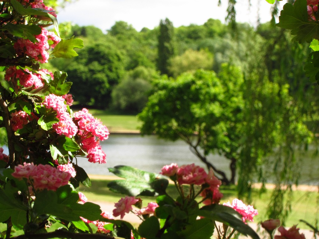 Hawthorn Blossoms at the Model Boating Pond, London